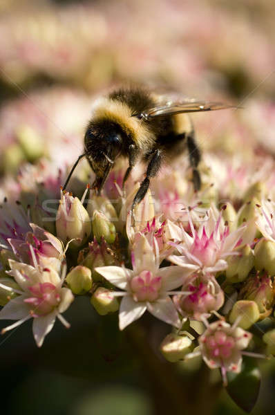 Bumble Bee on Flowers Stock photo © AlessandroZocc