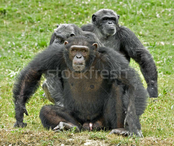 A family of chimpanzees with dominant male in defence posture Stock photo © AlessandroZocc