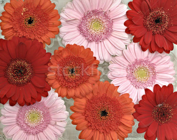 Pink, orange and red Gerber flowers in full bloom Stock photo © AlessandroZocc