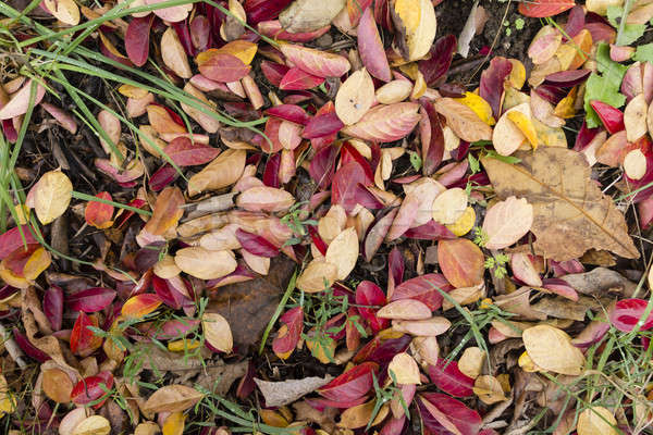 Fallen leaves on the grass Stock photo © AlessandroZocc