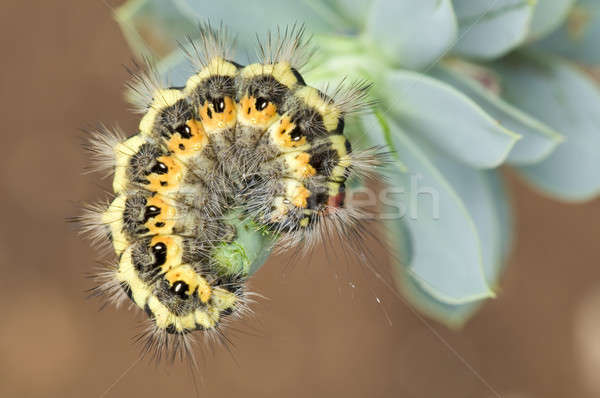 Colorful caterpillar in defence posture Stock photo © AlessandroZocc