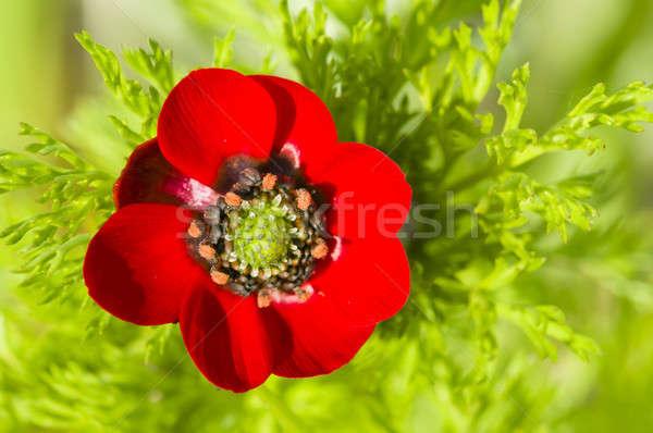 Mały czerwony maku kwiat zielone wiosną Zdjęcia stock © AlessandroZocc