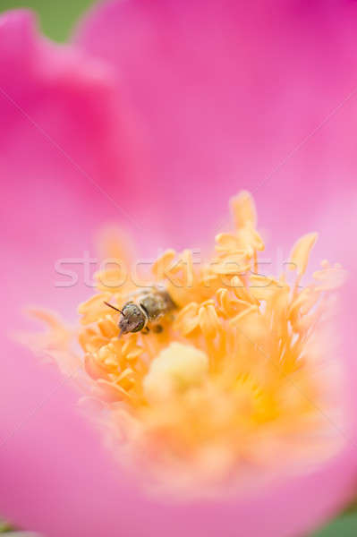 Ornamental rose and insect Stock photo © AlessandroZocc