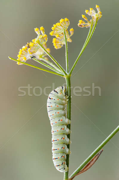Caterpillar of common yellow swallowtail butterfly Stock photo © AlessandroZocc