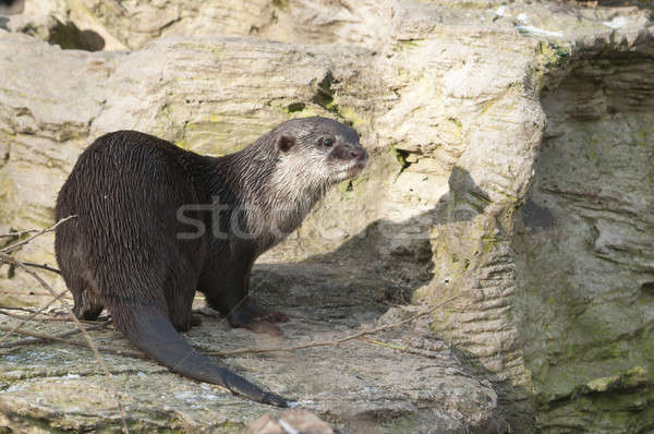 European Otter (Lutra lutra), Eurasian river otter, common otter Stock photo © AlessandroZocc