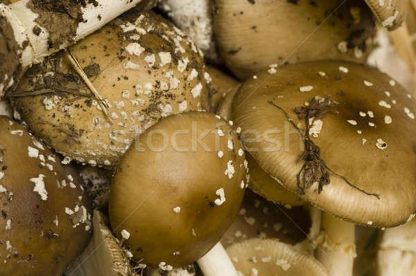 Stock photo: Amanita phalloides mushrooms