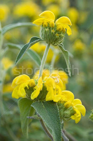 セージ 黄色の花 フル 咲く 自然 ストックフォト © AlessandroZocc