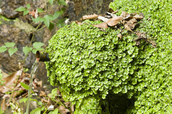 liverworts growing on a water fountain. Stock photo © AlessandroZocc