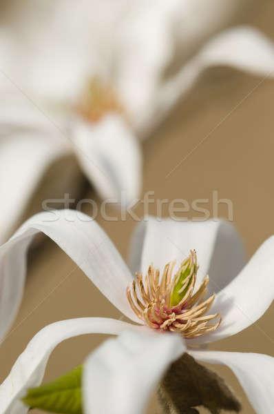 магнолия звездой цветы кустарник небольшой дерево Сток-фото © AlessandroZocc