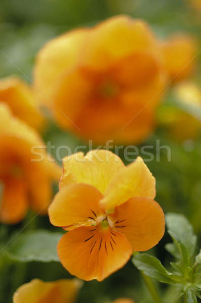 Orange Viola pansy flowers in full bloom Stock photo © AlessandroZocc