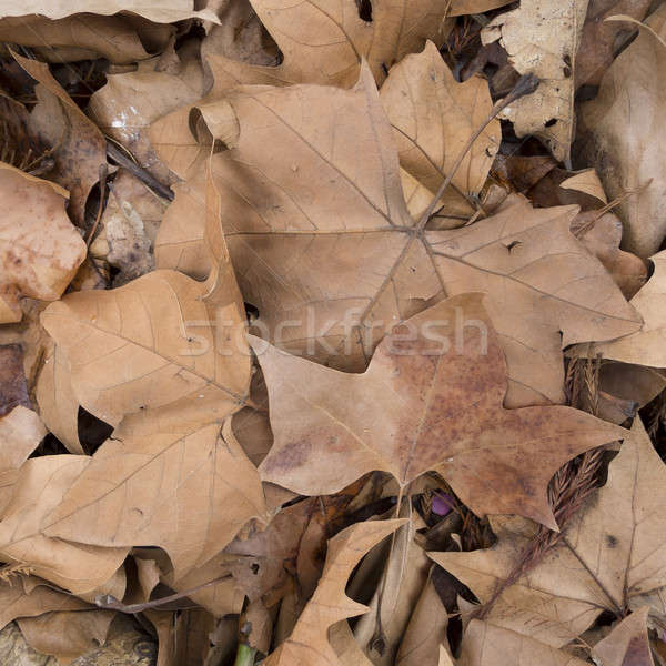 Dead leaves Stock photo © AlessandroZocc
