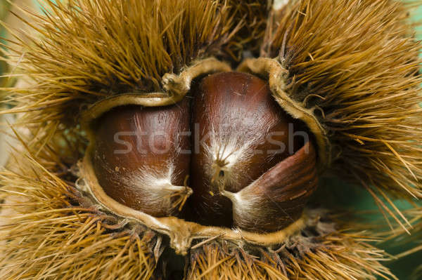 Chestnuts in thorny shell Stock photo © AlessandroZocc