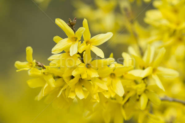 forsythia yellow flowers stock photo © alessandro zocchi, Beautiful flower