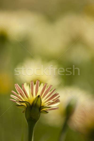 Dandelion, Taraxacum, yellow flowers  Stock photo © AlessandroZocc