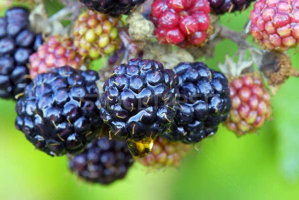 2008 riserva frutti BlackBerry Foto d'archivio © AlessandroZocc