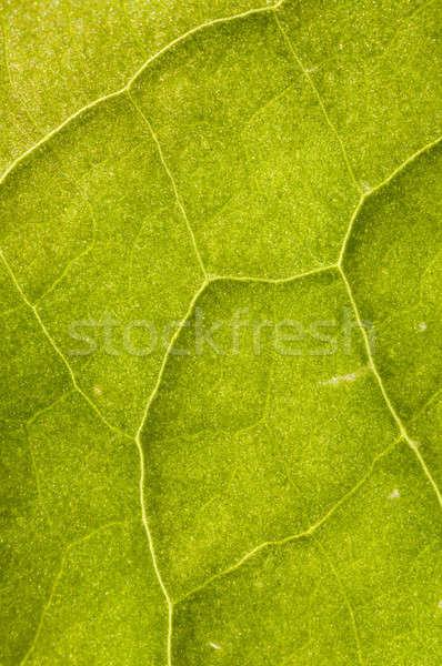 葉 静脈 詳細 戻る 光 春 ストックフォト © AlessandroZocc