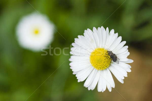 Latać Daisy kwiat zielone roślin Zdjęcia stock © AlessandroZocc