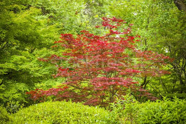 Maple tree, Acer palmatum Stock photo © AlessandroZocc