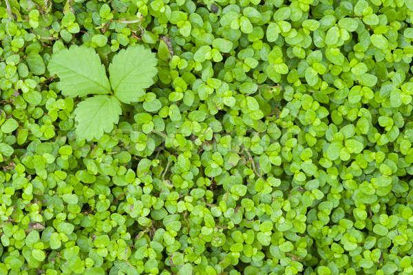 詳細 緑の草 緑の葉 自然 庭園 緑 ストックフォト © AlessandroZocc