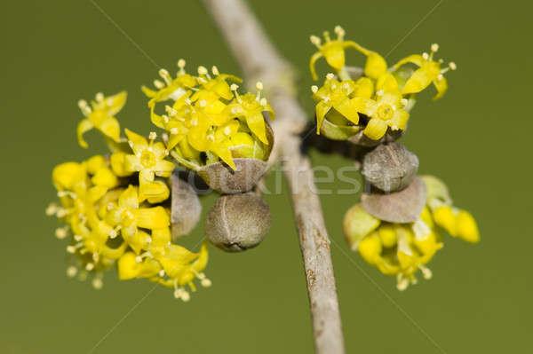 Wiśniowe europejski żółty kwitnienia roślin tubylec Zdjęcia stock © AlessandroZocc
