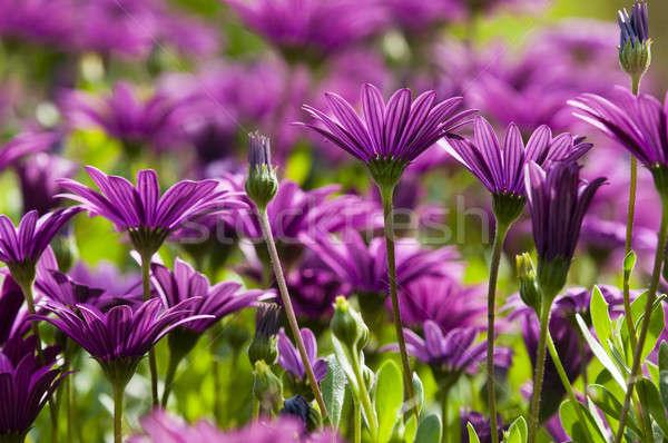Roxo rosa margarida flor palerma florescer Foto stock © AlessandroZocc