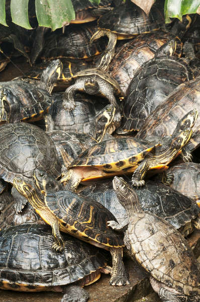 Basking group of red-eared, Florida turtles Stock photo © AlessandroZocc