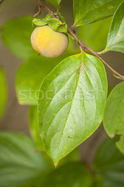 Stock photo: Close up of young fruit and leaf of persimmon, kaki