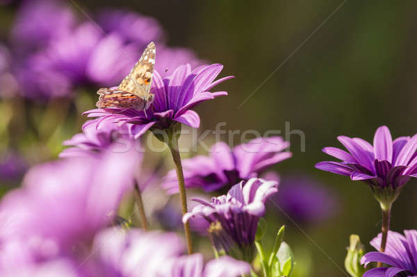 Butterfly and purple sunflowers Stock photo © AlessandroZocc