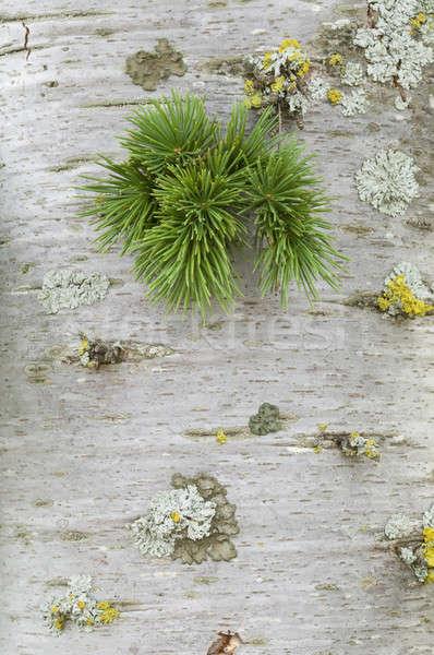 Rügy tűlevelű fa növekvő ki Stock fotó © AlessandroZocc
