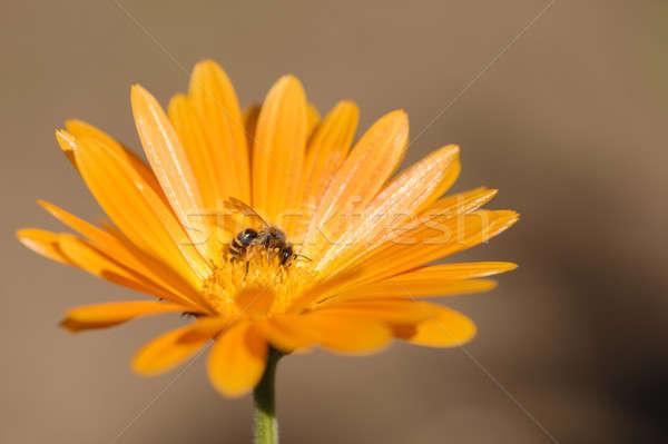 Honingbij verzamelen nectar stuifmeel oranje daisy Stockfoto © AlessandroZocc