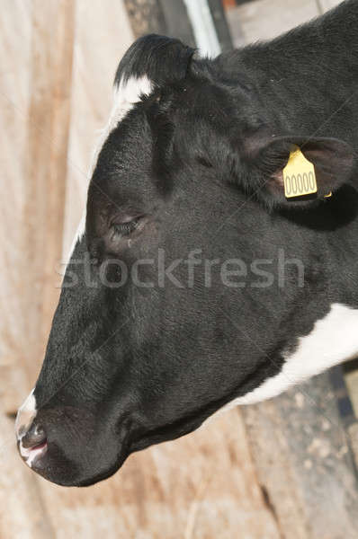 Adult female Dairy cattle (dairy cows) of the species Bos taurus Stock photo © AlessandroZocc