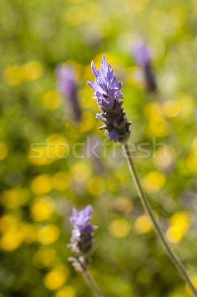 Bloemen zon Geel Maakt een reservekopie bloem schoonheid Stockfoto © AlessandroZocc