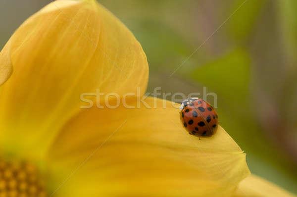 Joaninha joaninha amarelo dália flor Foto stock © AlessandroZocc