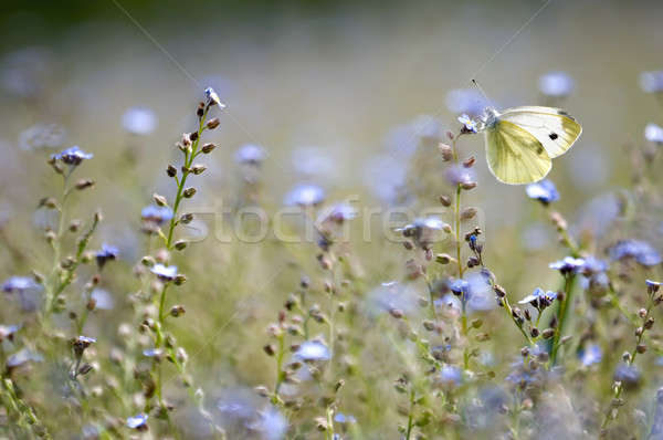 A large white butterfly in a forget-me-not field of flowers Stock photo © AlessandroZocc