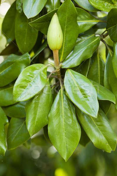 Magnolia plant zuidelijk stier boom familie Stockfoto © AlessandroZocc