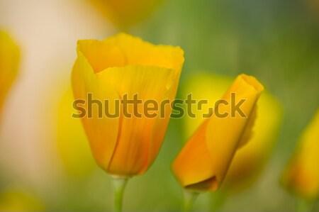 żółty maku kwiaty pełny kwitnąć zielona trawa Zdjęcia stock © AlessandroZocc