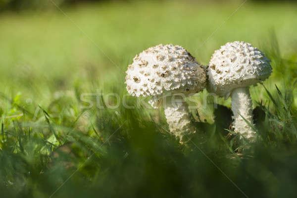 Champignon witte groeiend groen gras gras veld Stockfoto © AlessandroZocc