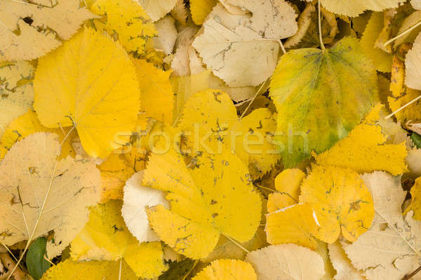 Yellow leaves fallen on ground  Stock photo © AlessandroZocc