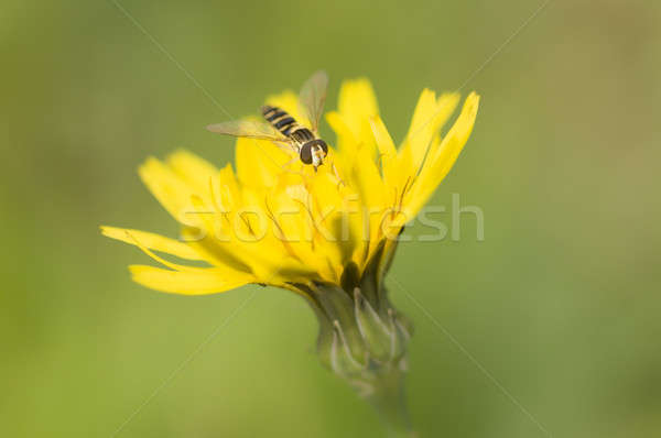 Syrphid fly on dandelion yellow Stock photo © AlessandroZocc