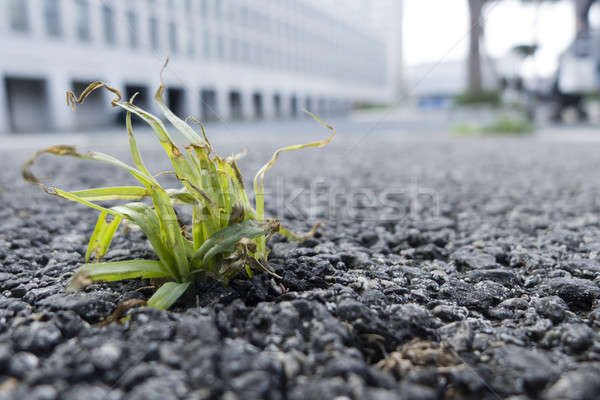 Green grass growing  out of a street asphalt Stock photo © AlessandroZocc