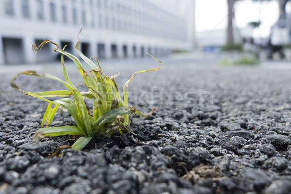 Zöld fű növekvő ki utca aszfalt küszködik Stock fotó © AlessandroZocc