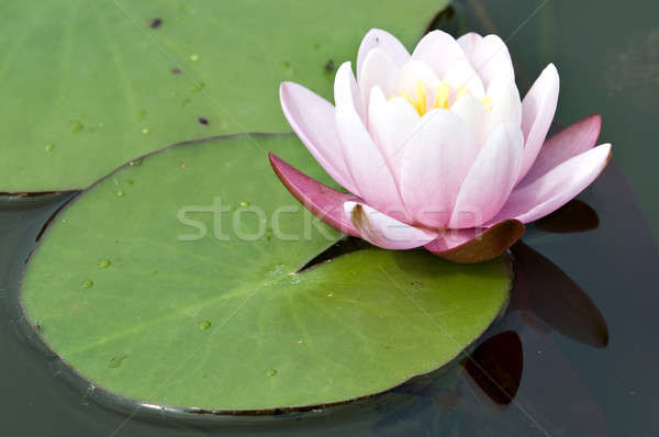 Pink waterlily flower and leaf with yellow stamens Stock photo © AlessandroZocc