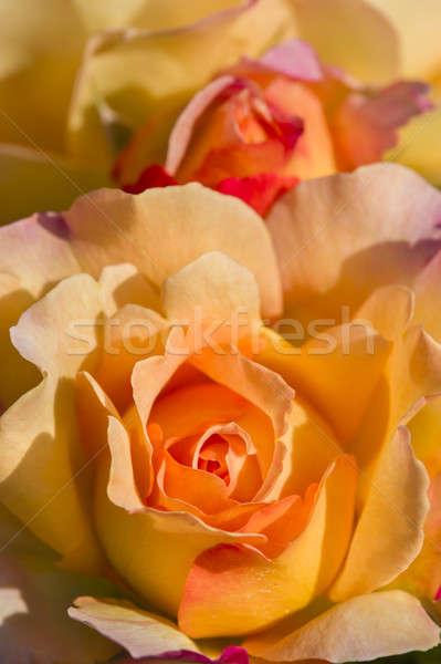 красочный роз полный цвести закрывается Сток-фото © AlessandroZocc