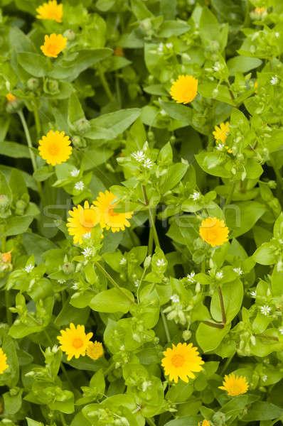 Geel groene bladeren tuin achtergrond groene daisy Stockfoto © AlessandroZocc