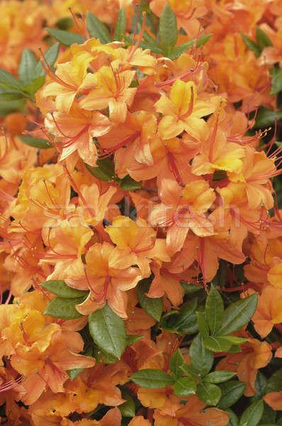 Orange azalea flowers in full bloom Stock photo © AlessandroZocc