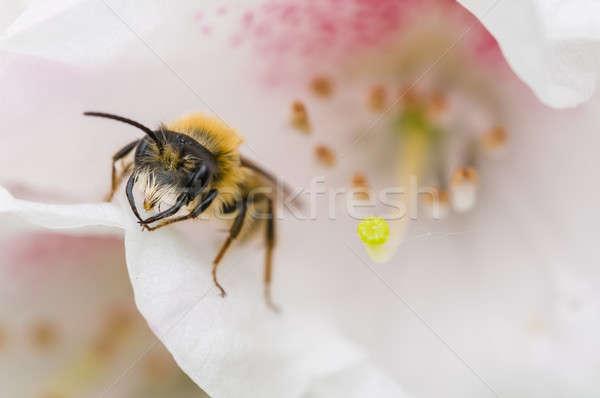 Wesp bloem witte bloem Stockfoto © AlessandroZocc