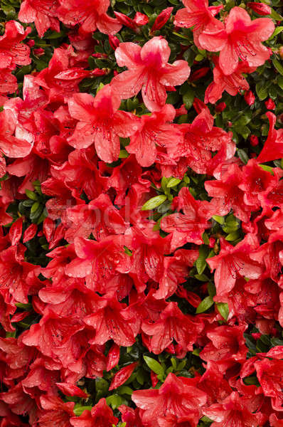 Rood azalea bloemen regen druppels water Stockfoto © AlessandroZocc