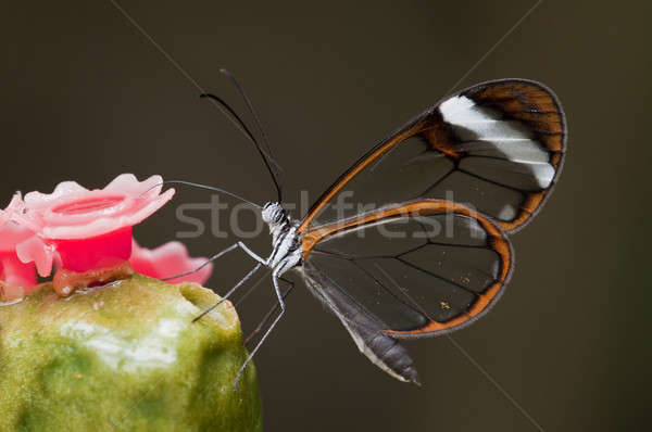 Glasswing (Greta oto) brush-footed butterfly Stock photo © AlessandroZocc
