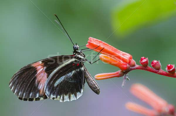 Tropikal kelebek profil çiçek yeşil kırmızı Stok fotoğraf © AlessandroZocc