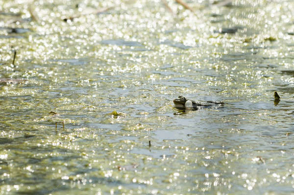 Stock photo: Croaking green frog in a pond